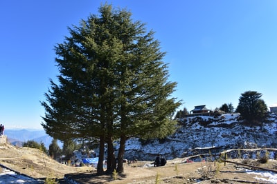 Shimla green tree on brown sand during daytime