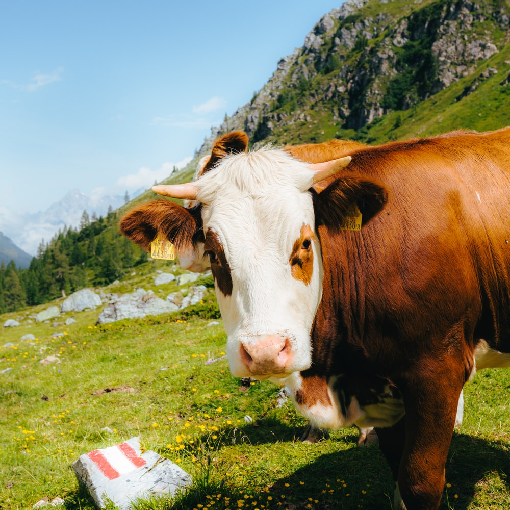 brown and white cow on green grass field under blue sky during daytime