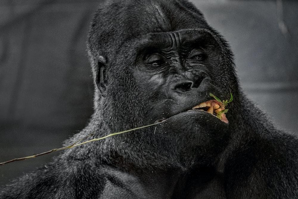 black gorilla with yellow eyes
