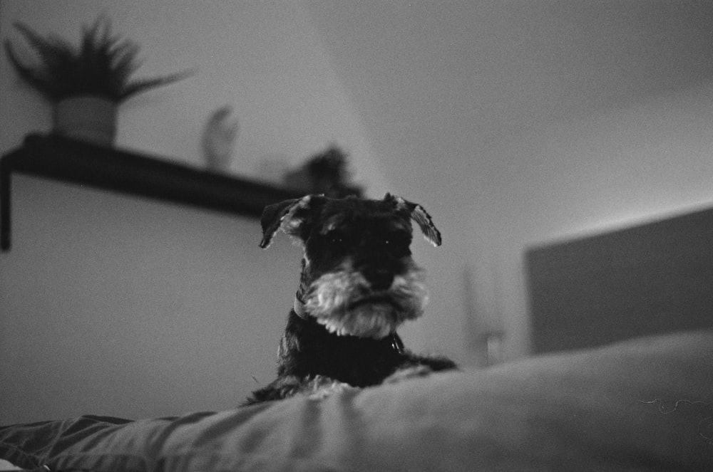 grayscale photo of long coated small dog on bed
