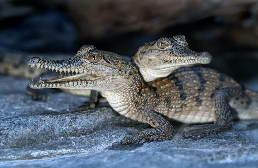 brown and black crocodile on gray rock