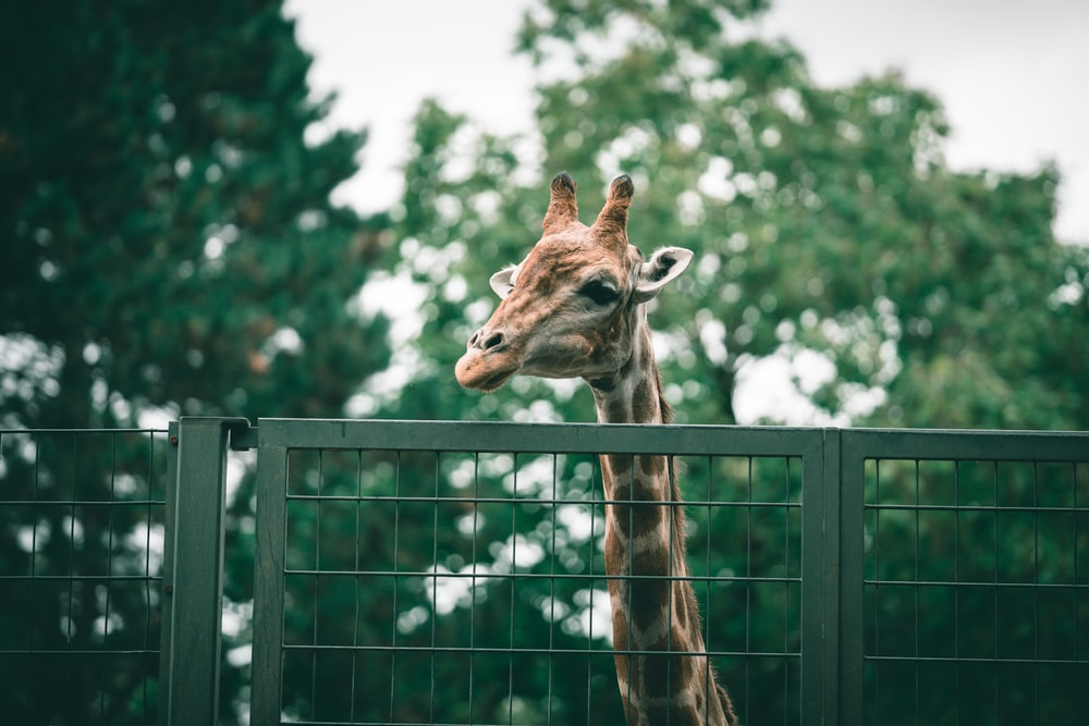 brown giraffe on green metal fence during daytime