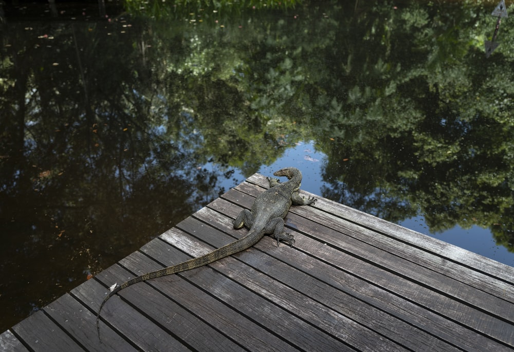 gray frog on brown wooden dock
