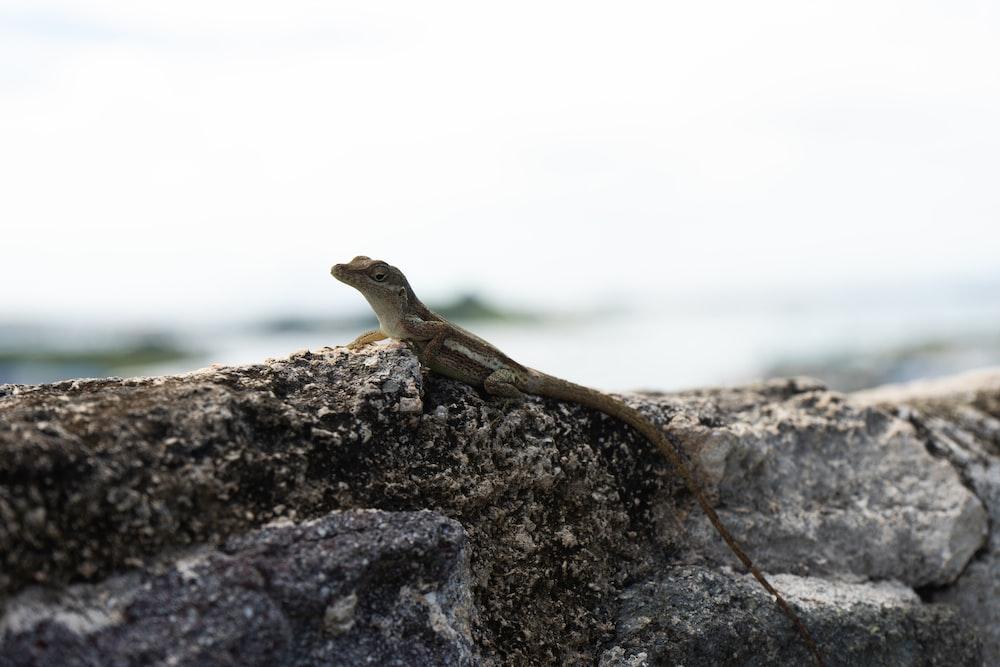 brown lizard on gray rock during daytime