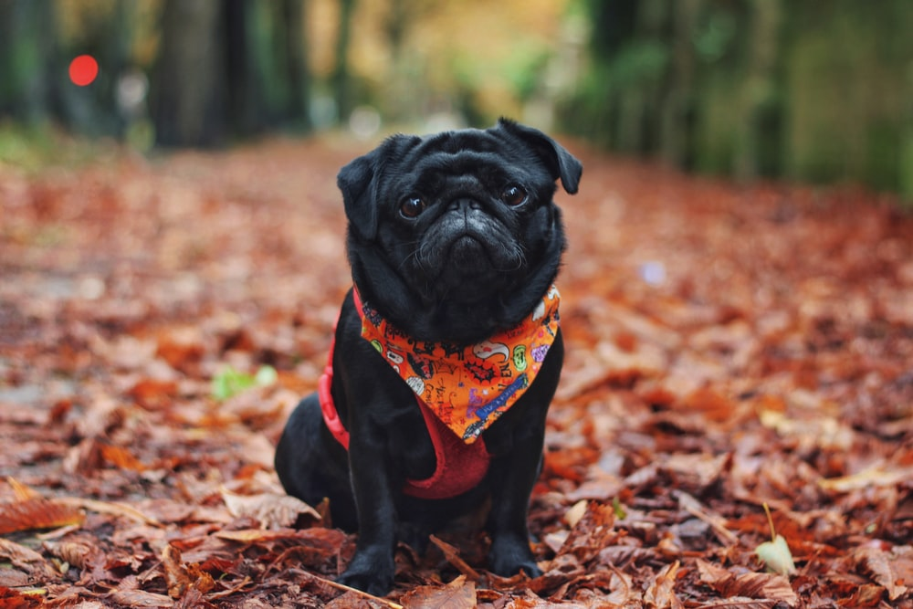 black pug in red and white scarf