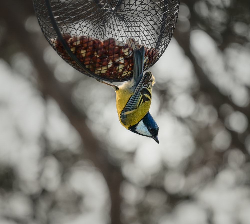yellow and blue bird on brown bird feeder