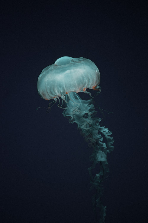 blue jellyfish in black background