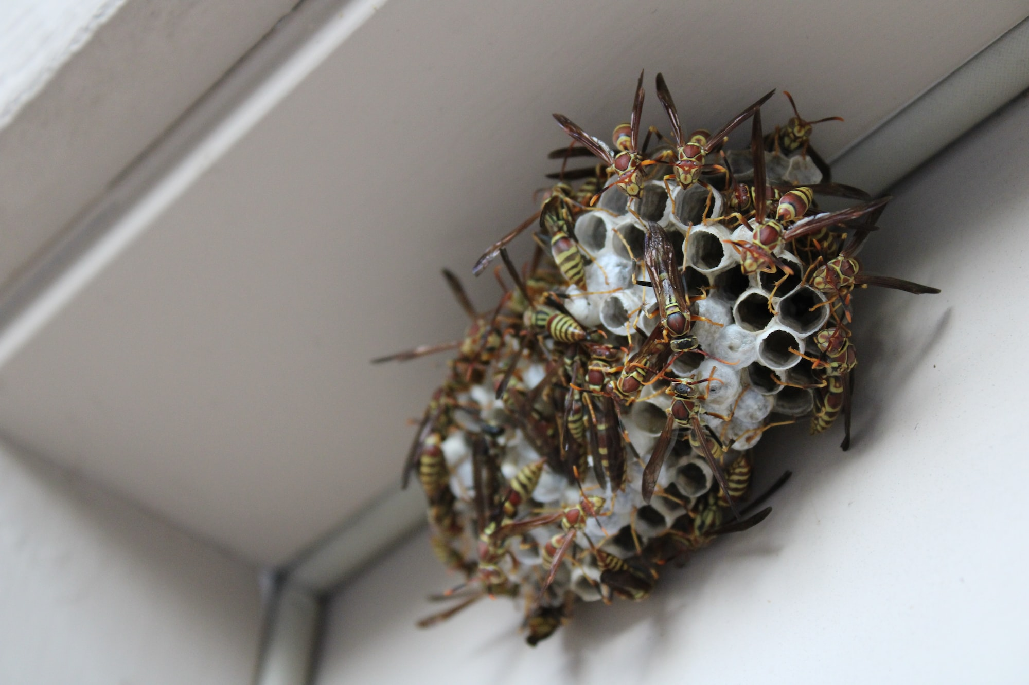 Bee Safe Bee Removal shows a close-up look at a wasp nest during a removal for an exposed beehive. Over 30,000 bees were saved!