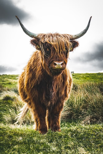 A highland cow standing in green grass