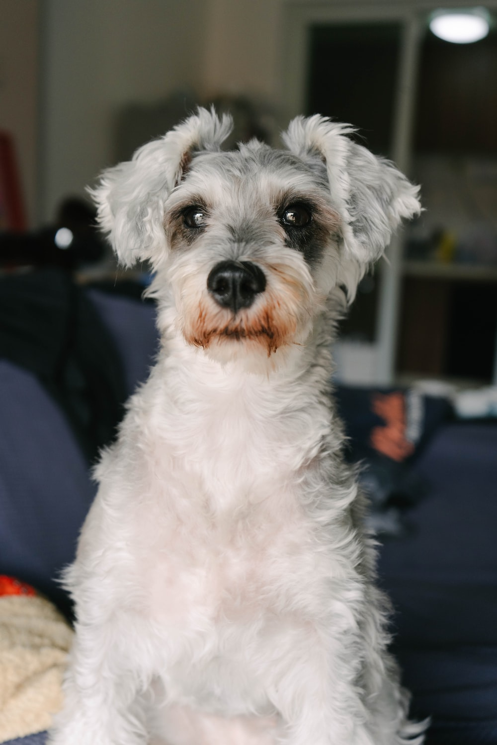 white and gray long coated small sized dog