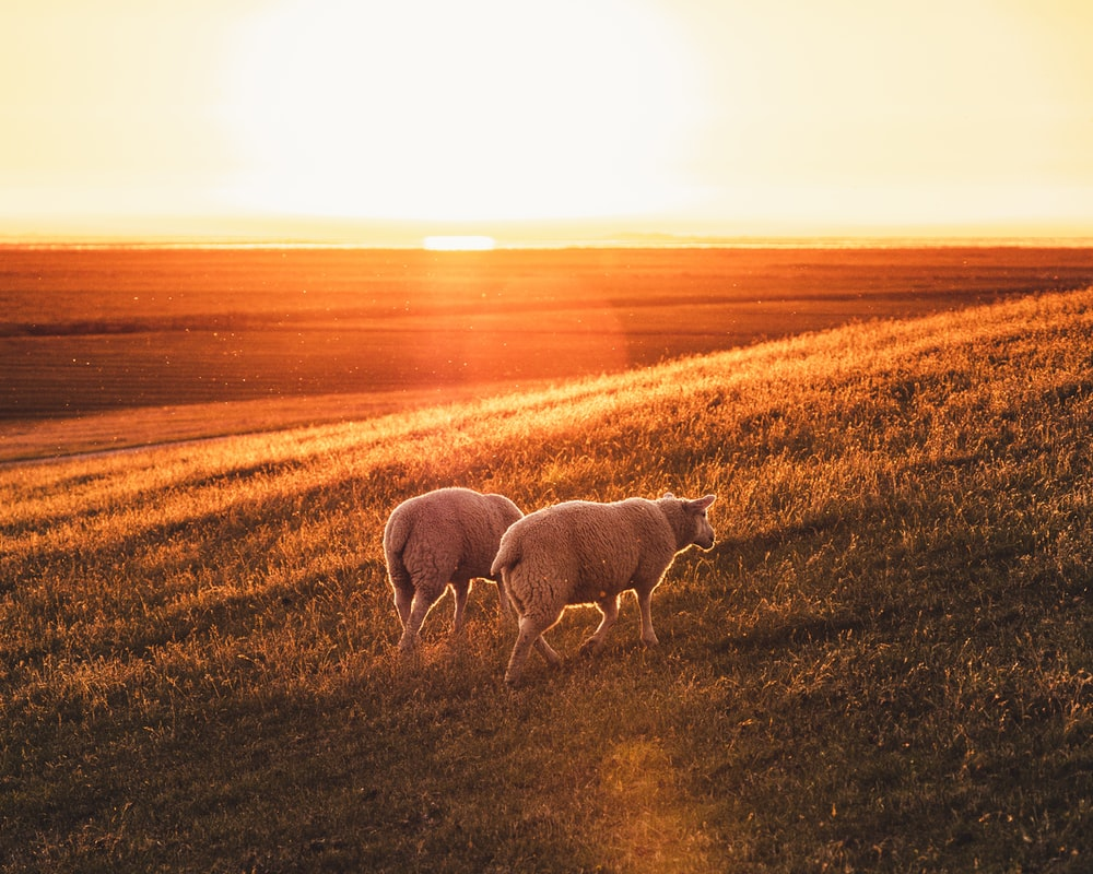 white sheep on brown grass field during sunset