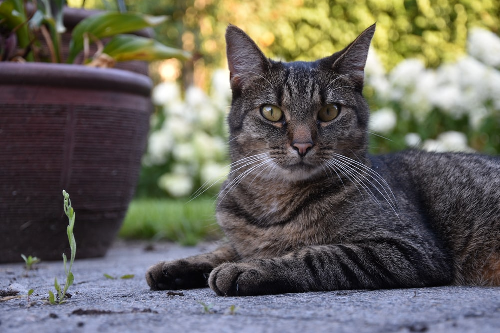 silver tabby cat lying on ground during daytime