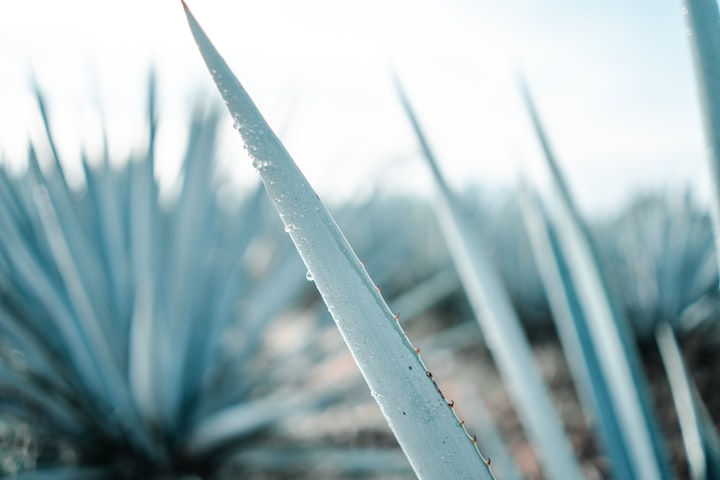 Agave's Waking Reality