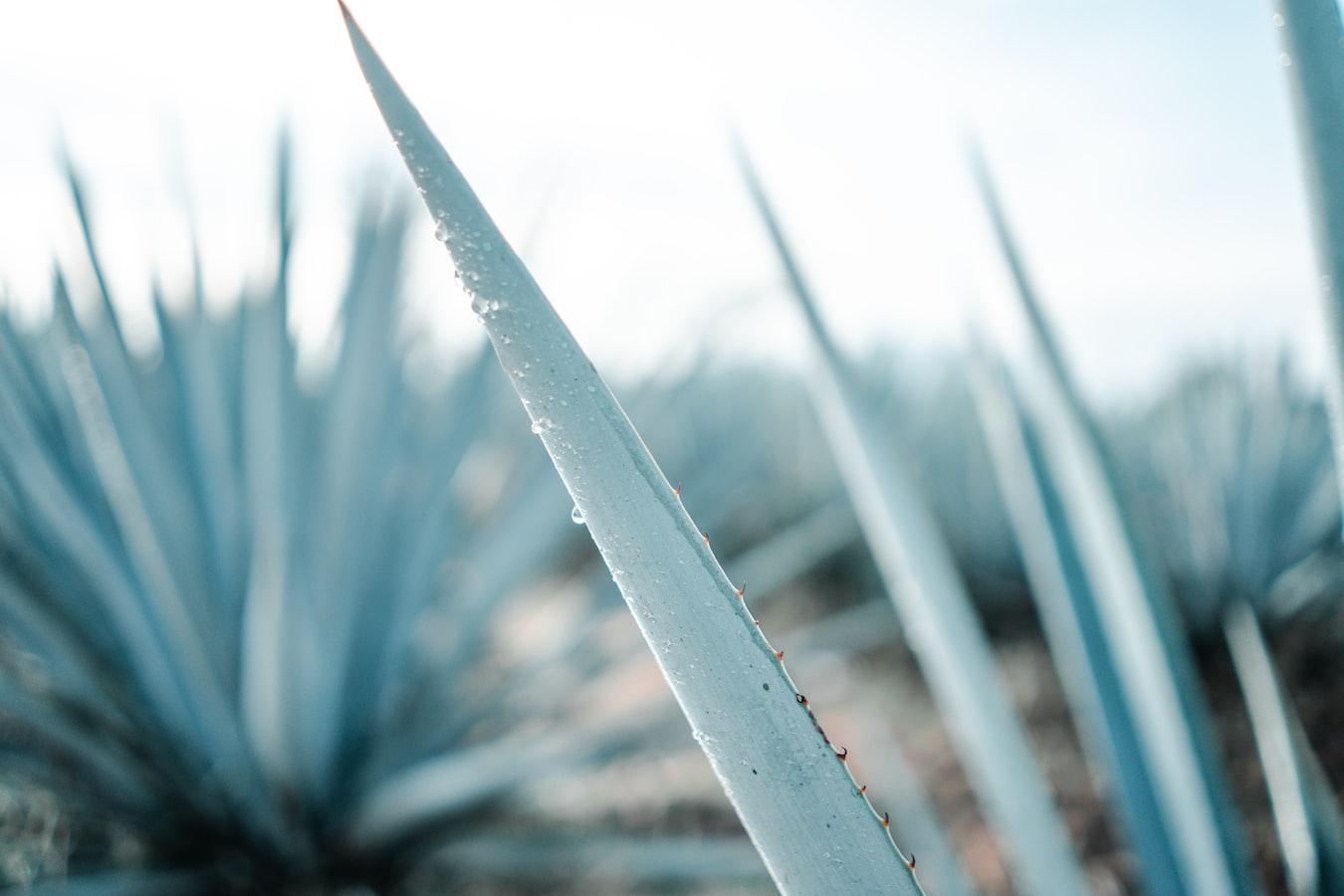 meksyk półwysep jukatan tequila plantacje agawy