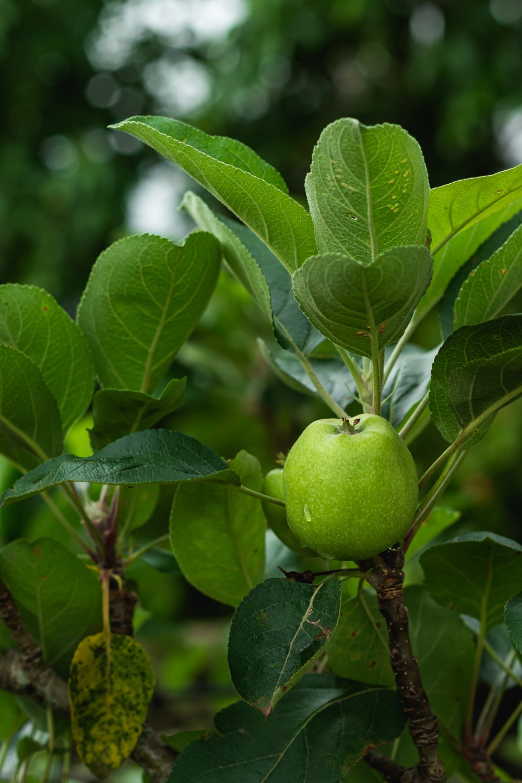 green apple fruit on brown tree branch
