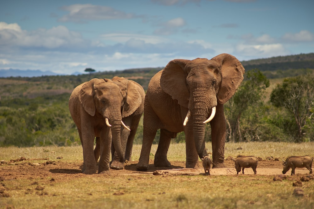 two brown elephants on brown field during daytime