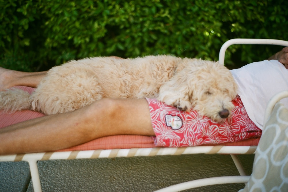white poodle lying on red and white textile