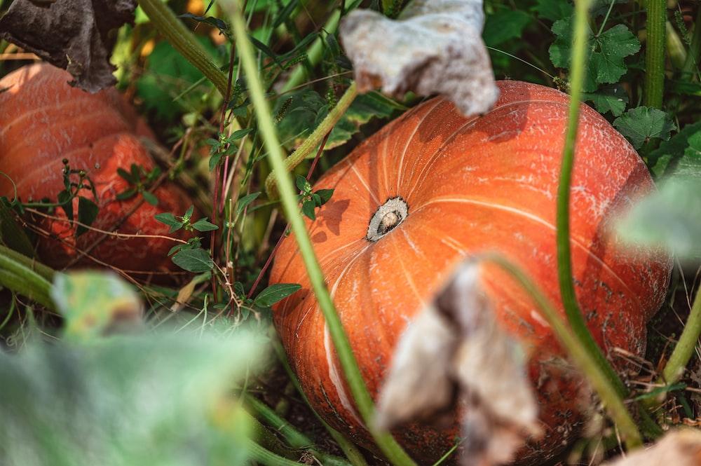 orange pumpkin with green leaves
