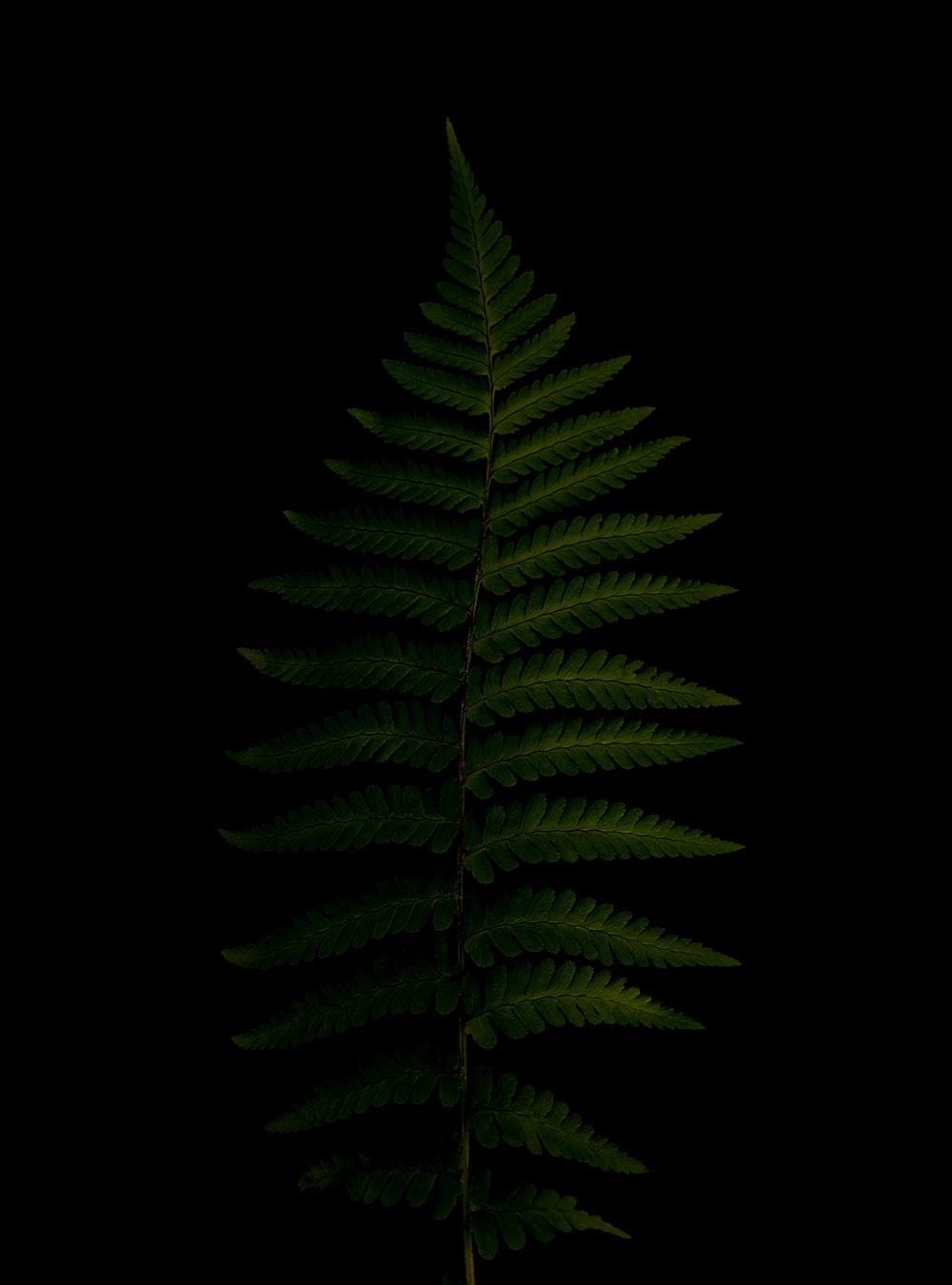 green fern plant in black background