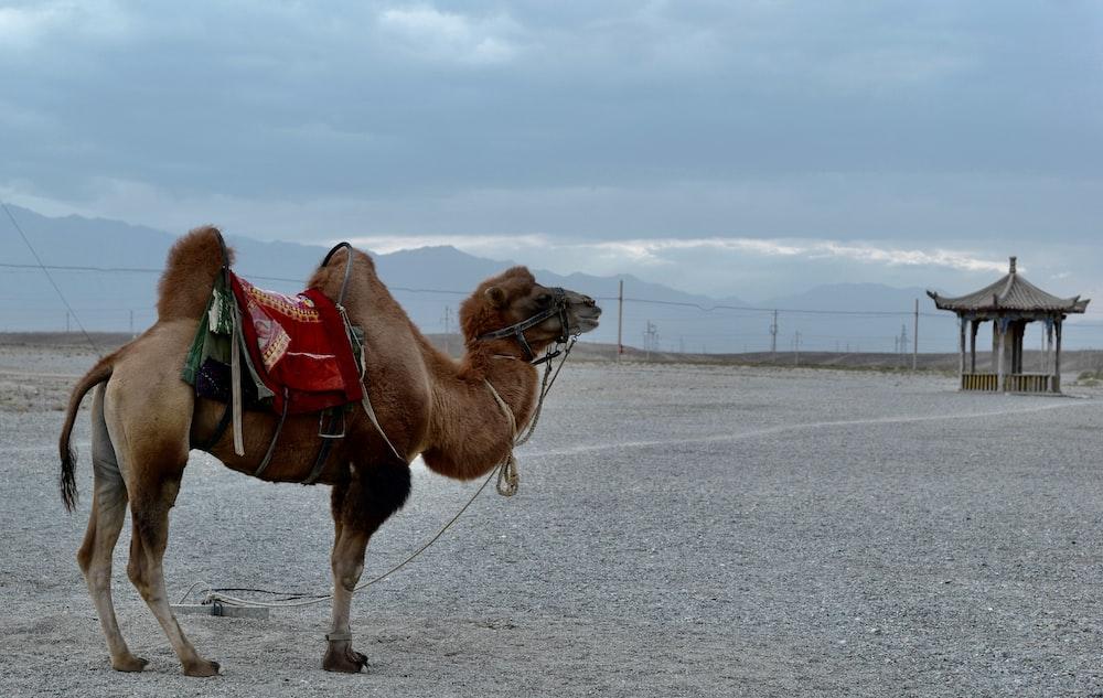 brown camel walking on gray sand during daytime