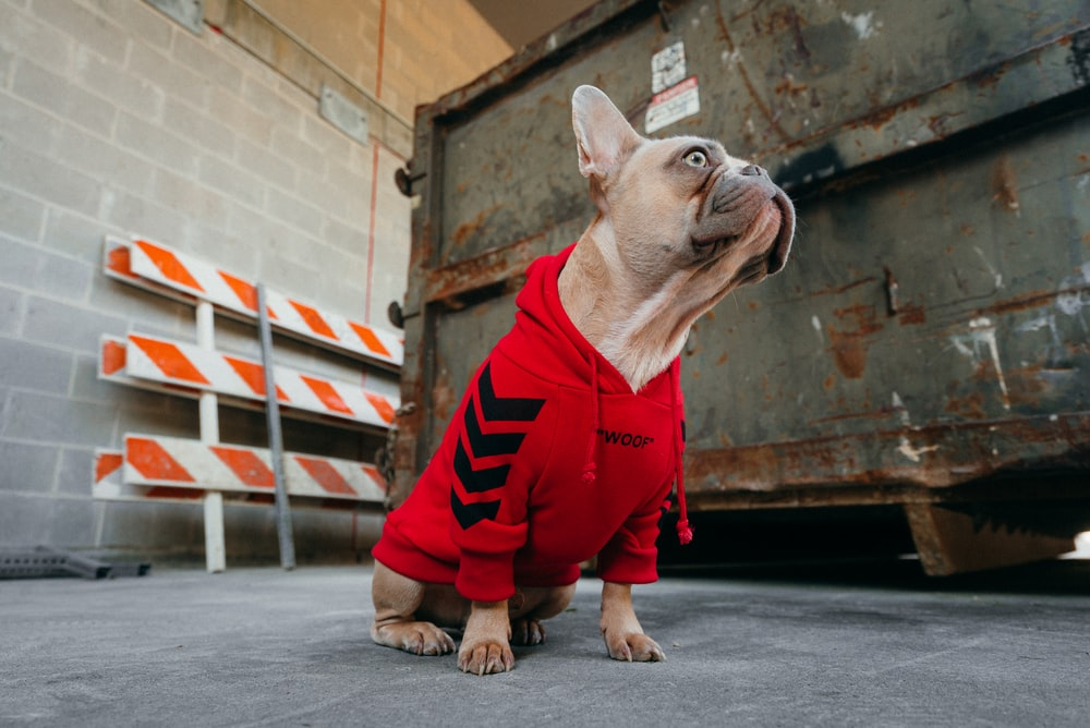 brown pug in red and black striped hoodie