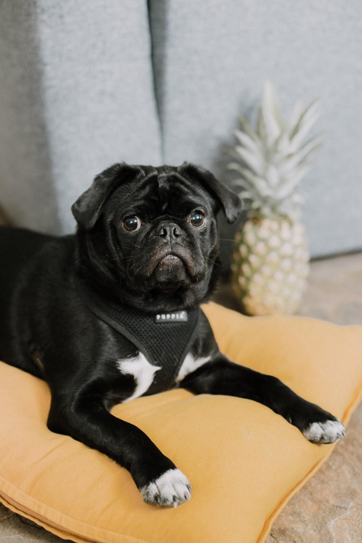 black pug on yellow textile