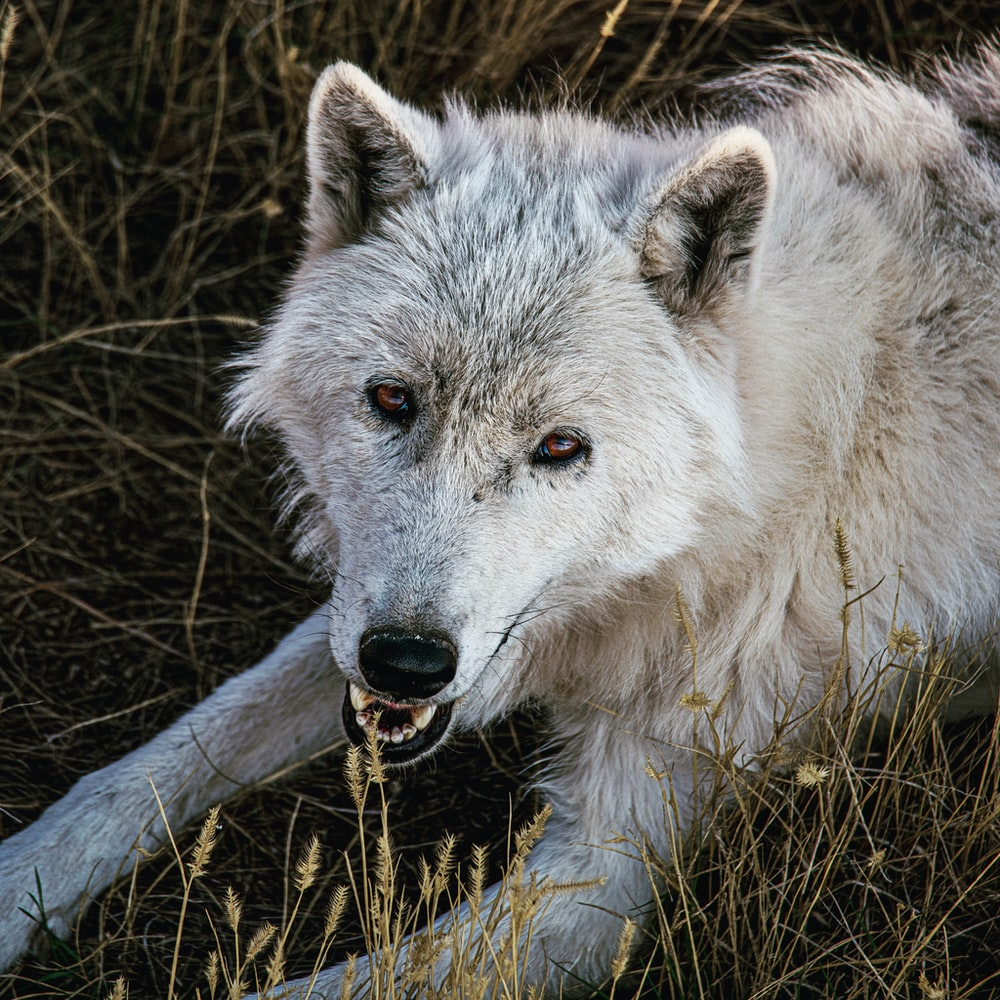 white wolf on brown grass