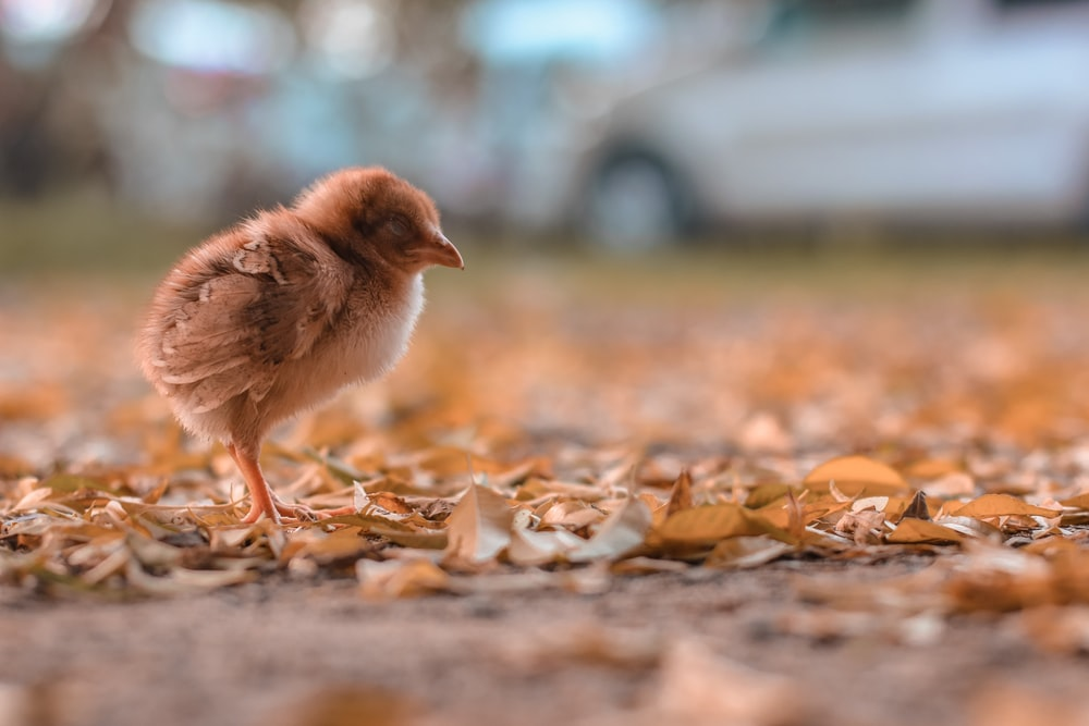 brown chick on brown dried leaves during daytime