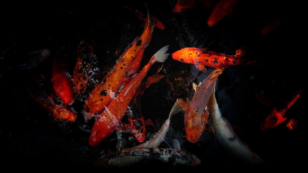 Ikan Koi dan Keberuntungan