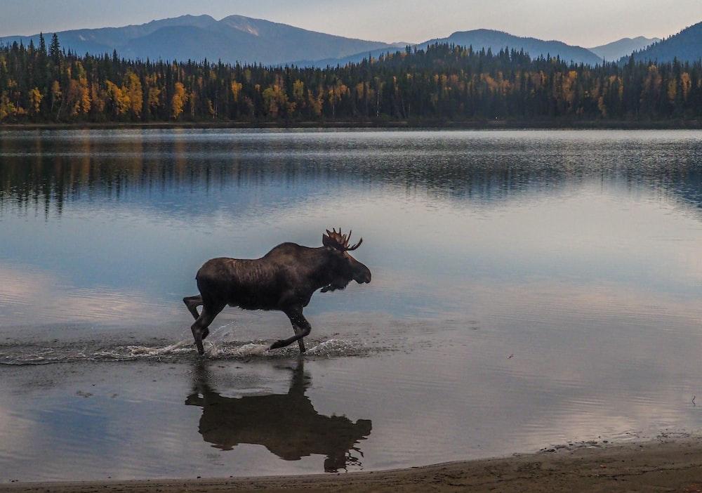 black cow on lake shore during daytime