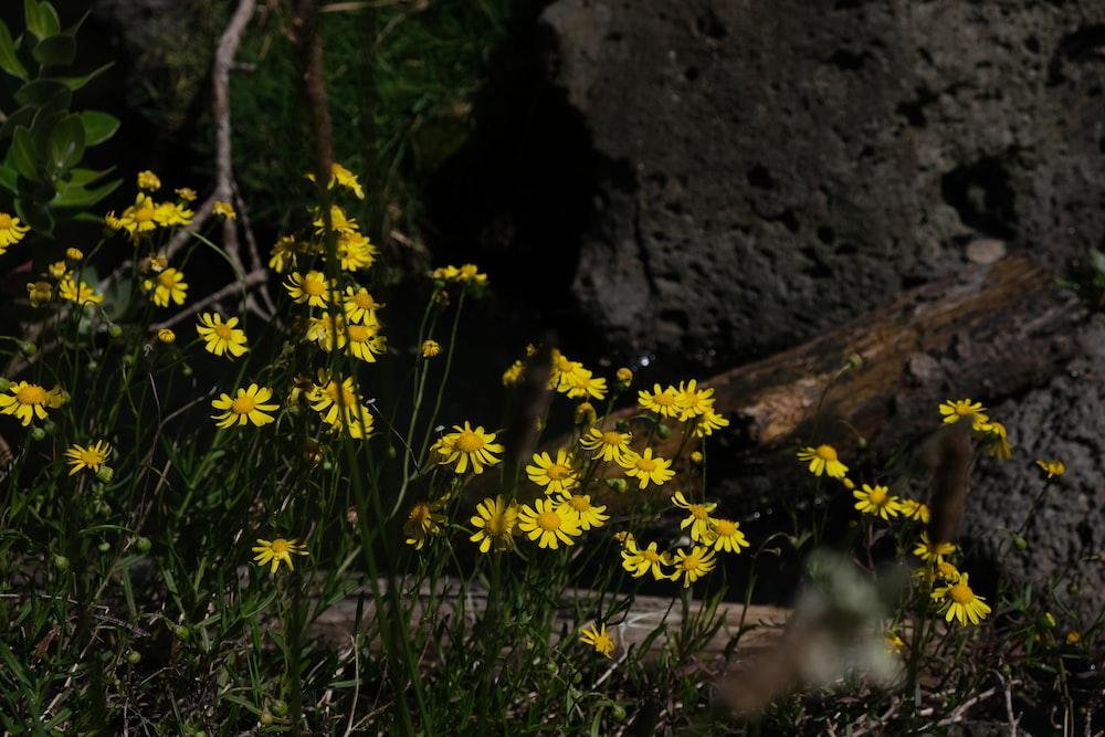 yellow flowers beside brown rock