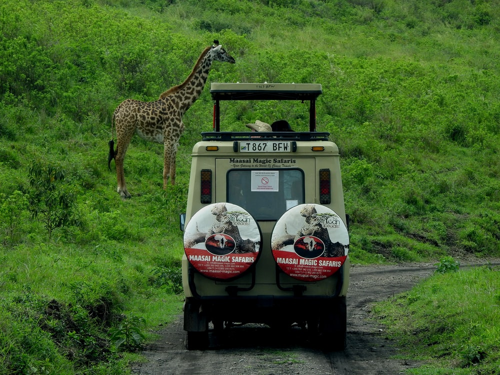 giraffe on white and black car