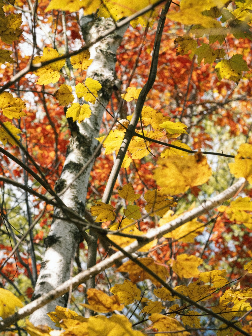 yellow and brown maple leaves on tree branch