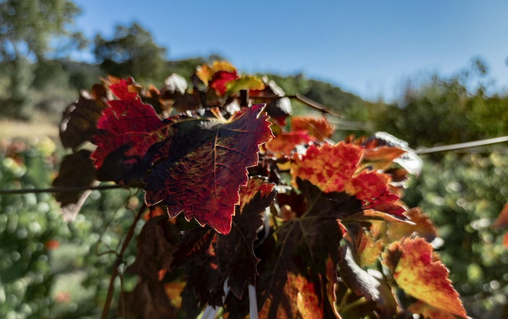 red and green maple leaf