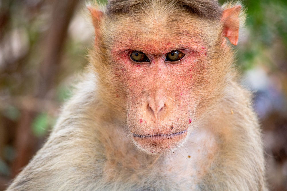 brown and white monkey in close up photography