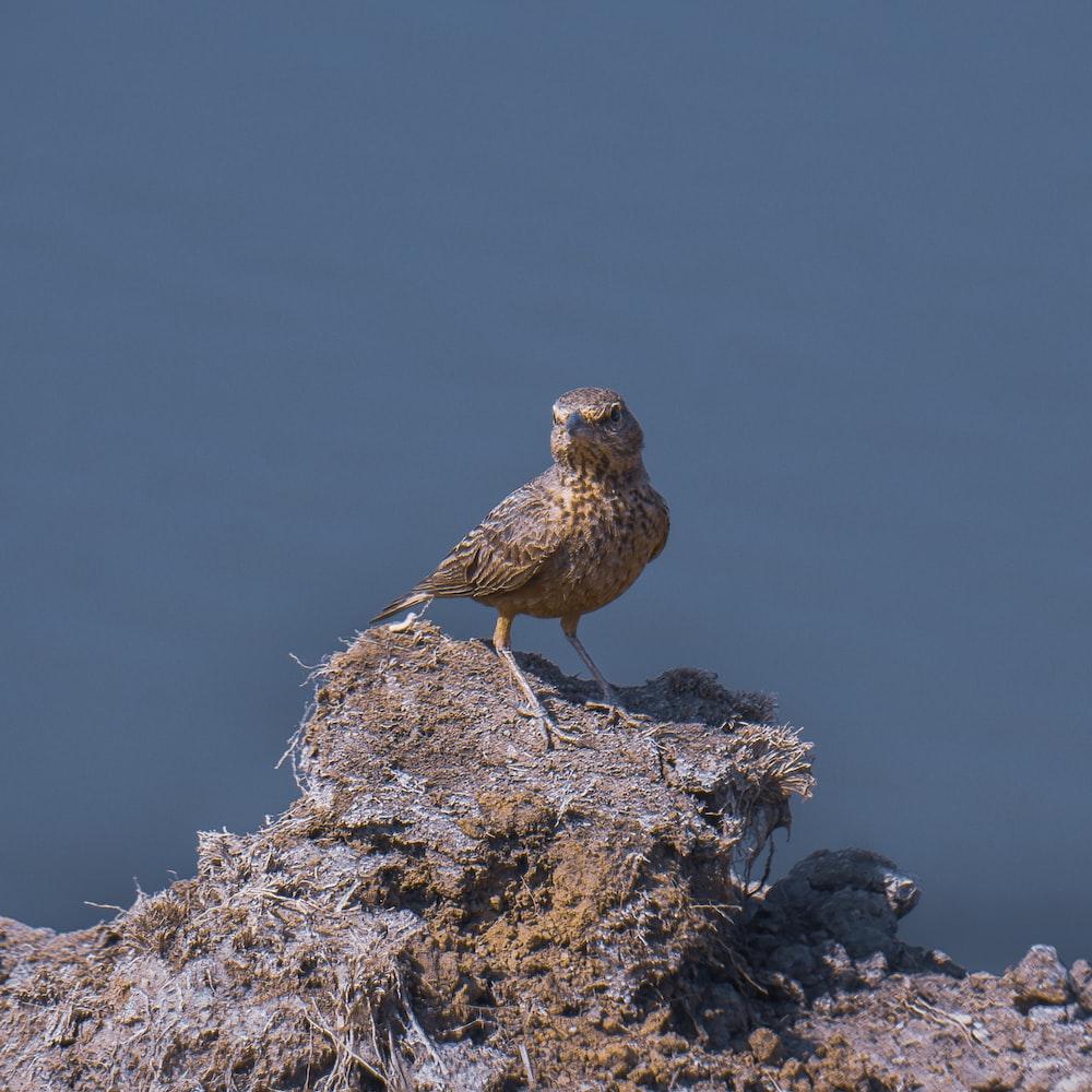 brown bird on brown rock during daytime