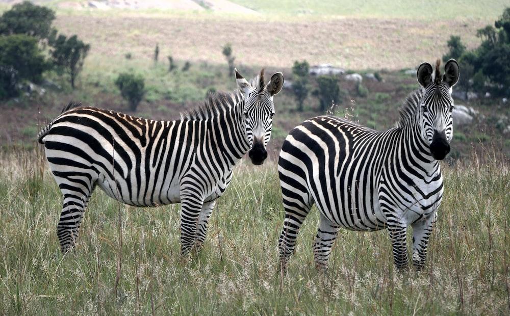 zebra on green grass field during daytime