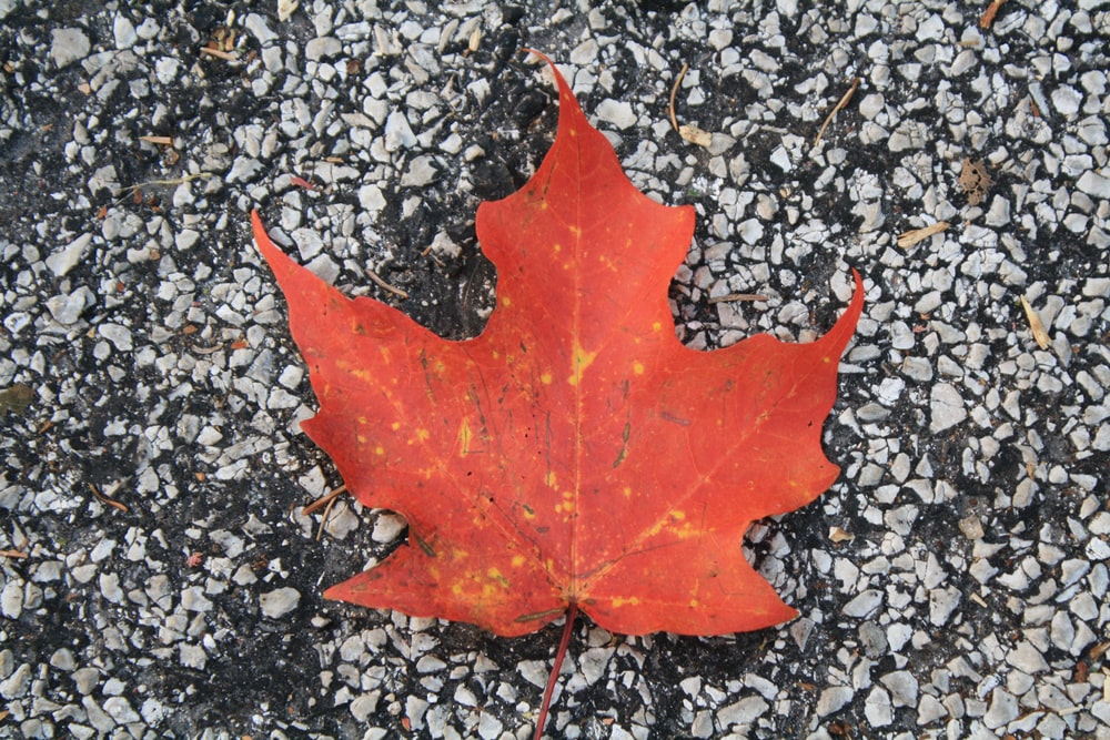 red maple leaf on gray concrete ground