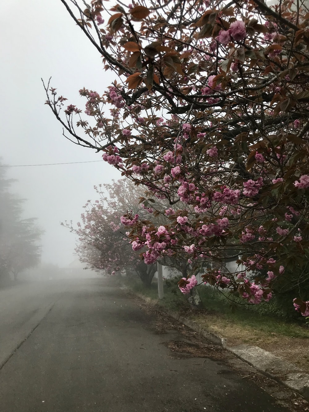 pink cherry blossom tree beside road