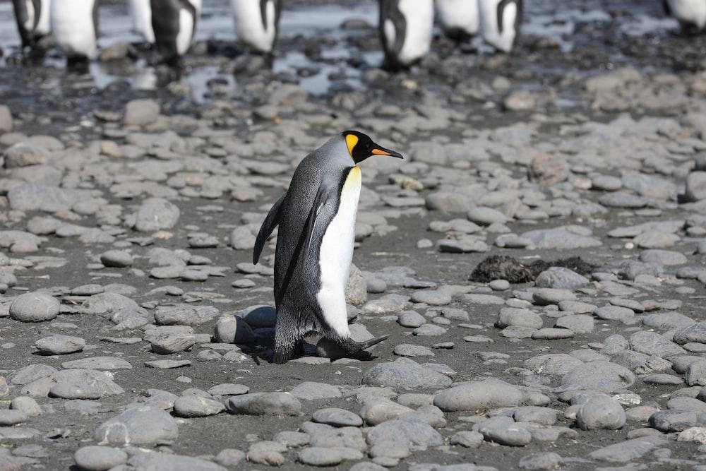penguin walking on rocky ground during daytime
