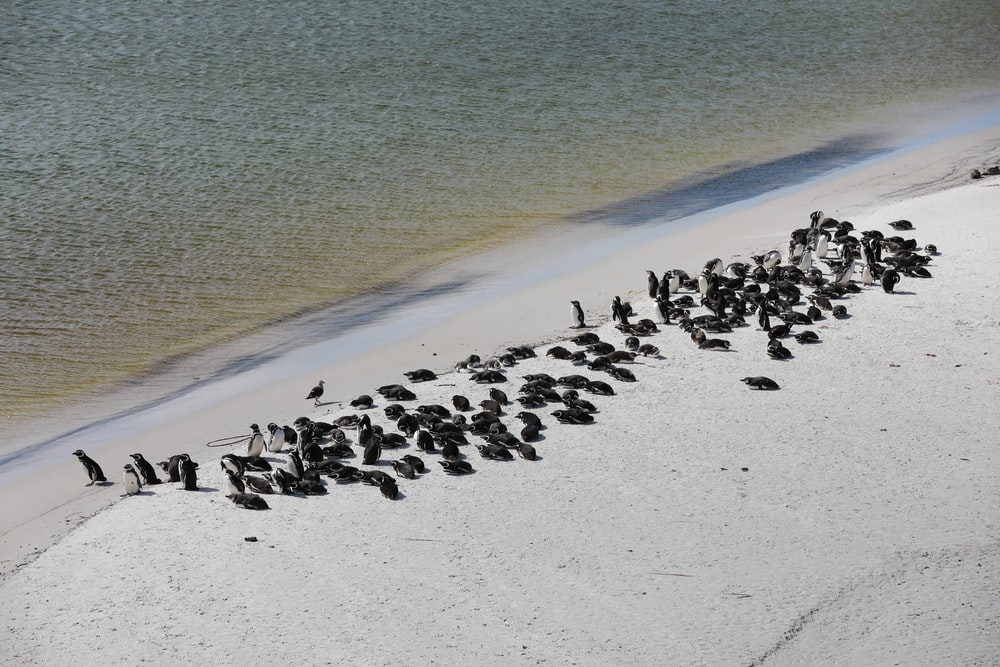 flock of black and white birds on beach shore during daytime