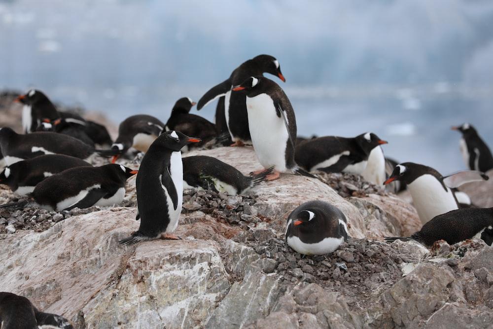 penguins on gray rock during daytime