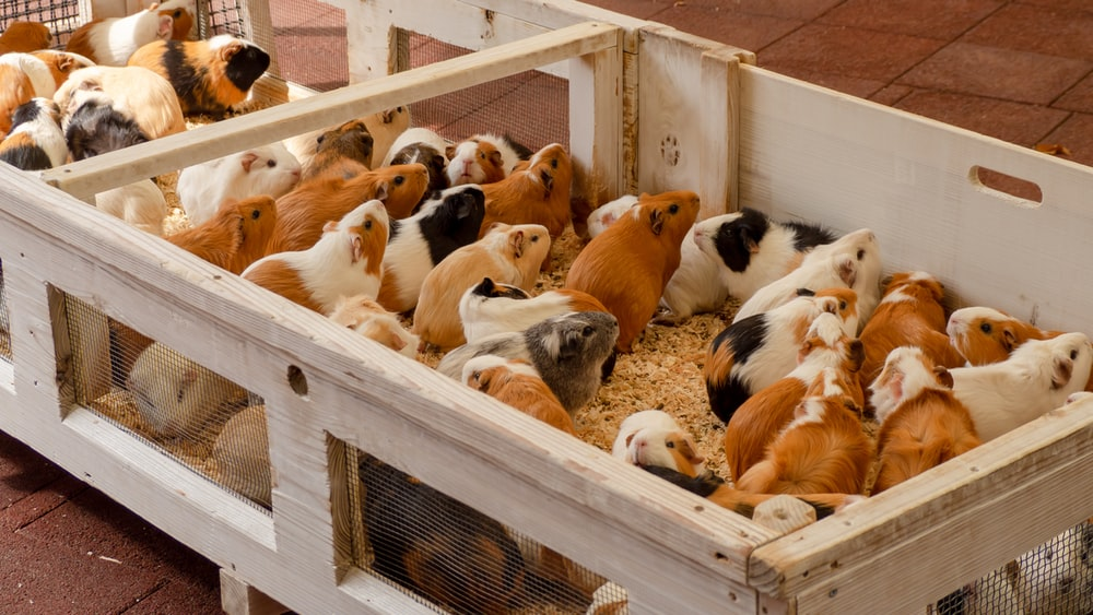 brown white and black guinea pigs in white wooden crate