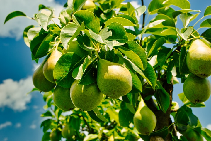 A Pear Tree in Maine