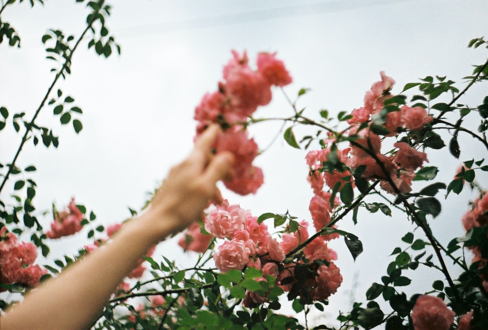 person holding pink flower during daytime