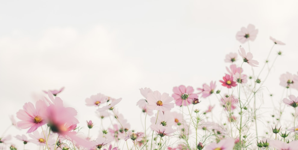 pink and white flowers under white sky during daytime