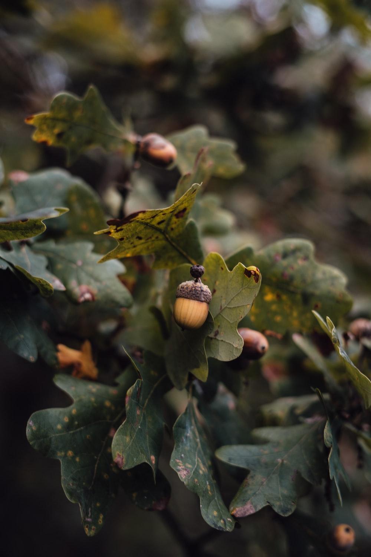 brown fruit on green leaves