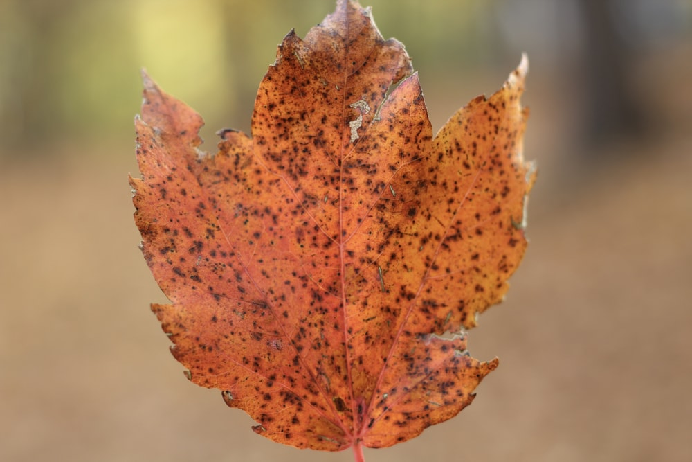 red and brown maple leaf