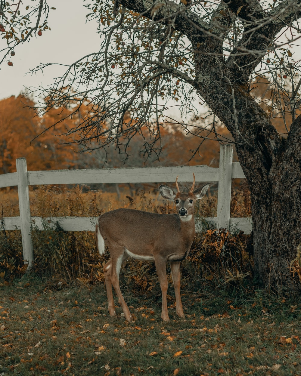 brown deer standing on green grass field near brown bare trees during daytime