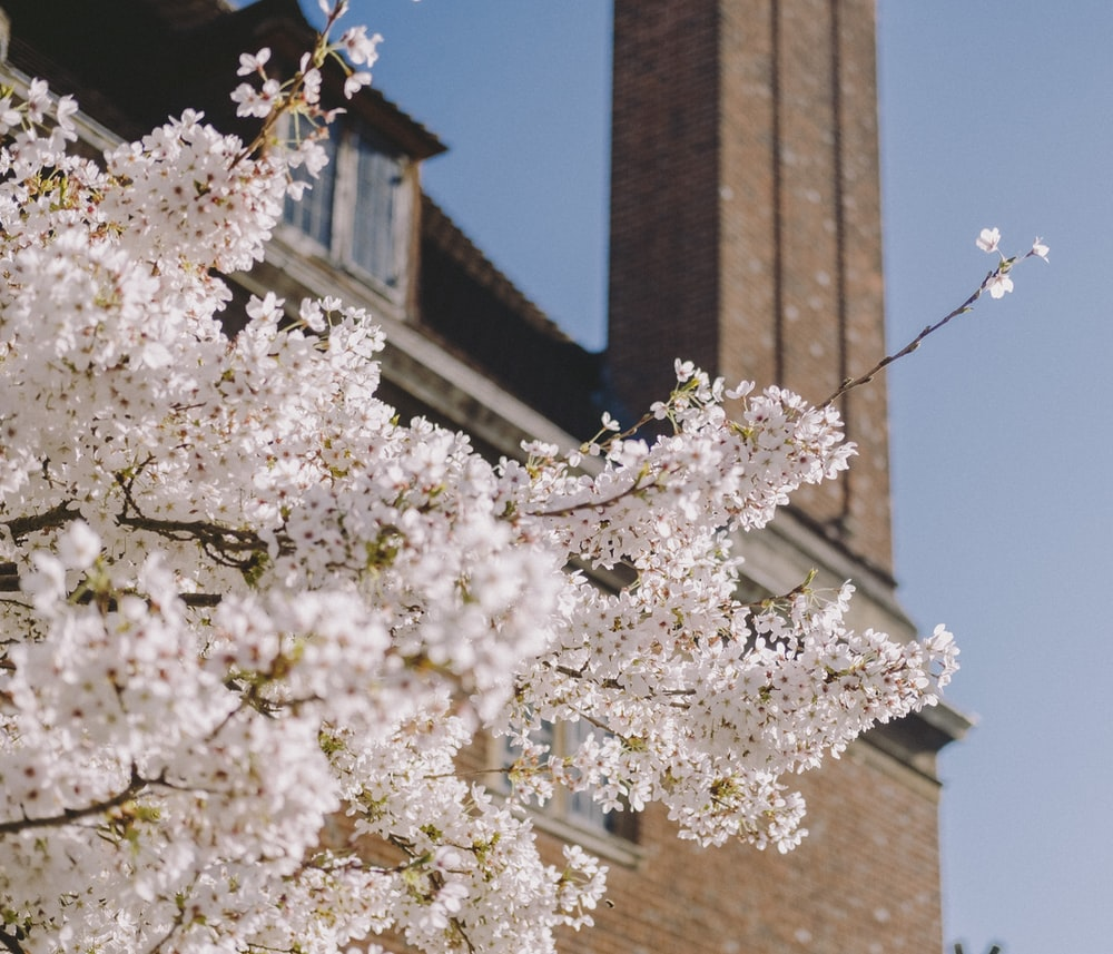 white cherry blossom tree near brown concrete building during daytime